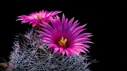 Cactus Flowers screenshot