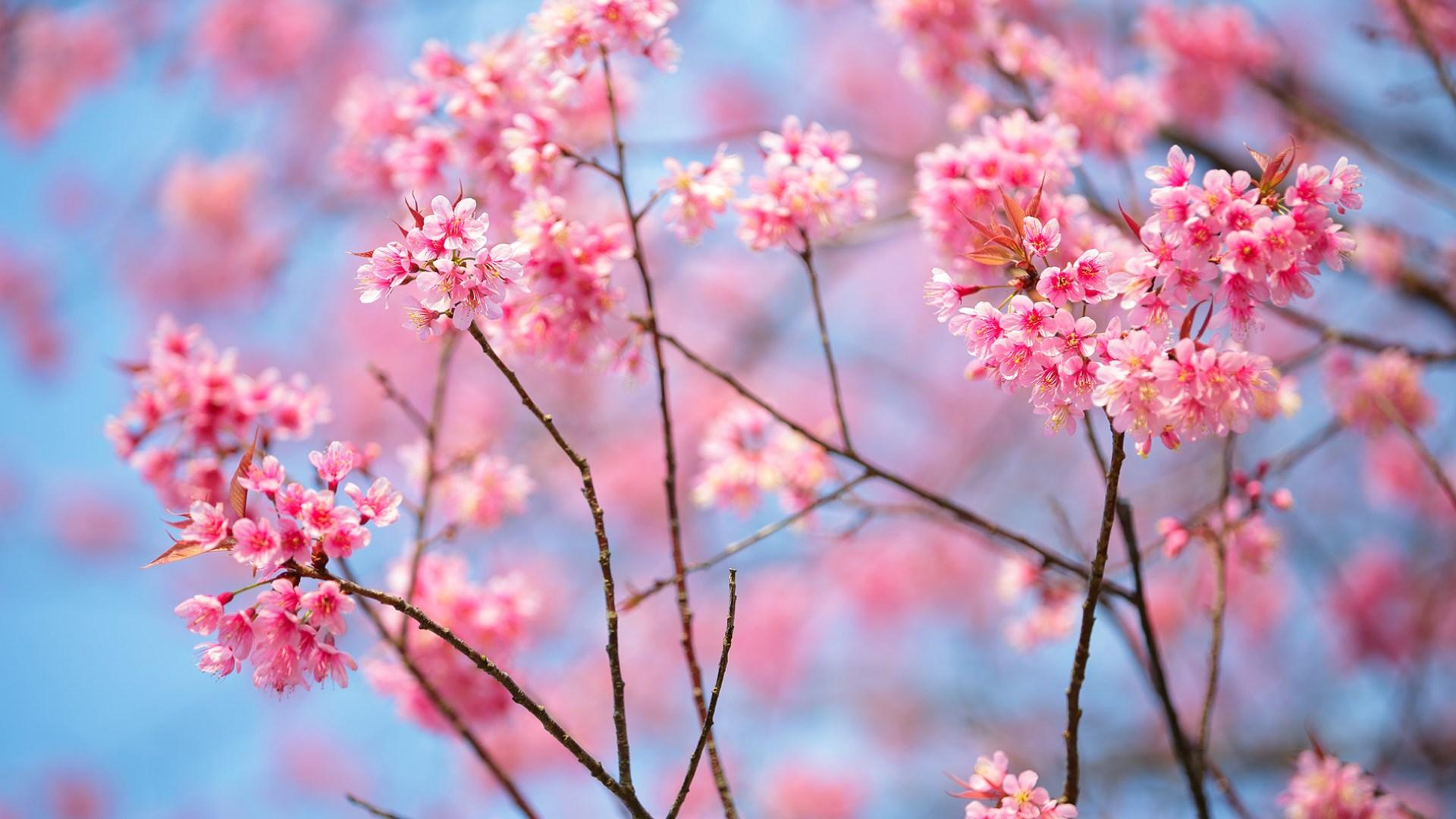 Get Cherry Blossoms - Microsoft Store