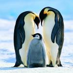 Penguin Papas