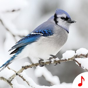 Bird Sound Ringtones - Best Ringtone App