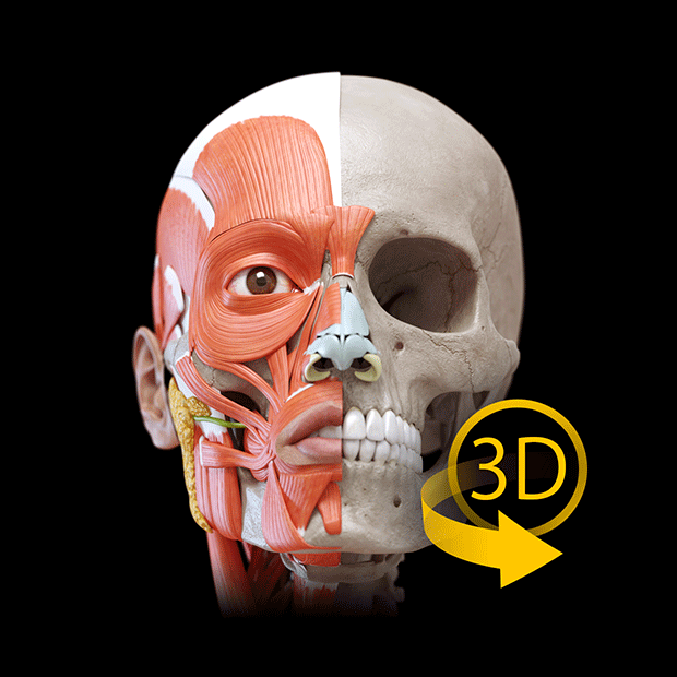 Buy Muscular System 3d Atlas Of Anatomy Microsoft Store