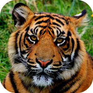 Get Tiger Wallpapers New Microsoft Store