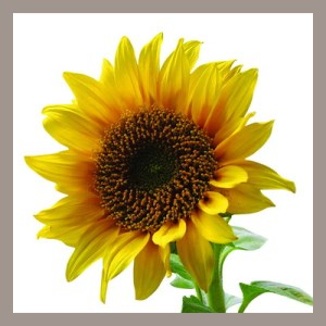 Get Sunflower Wallpapers Microsoft Store