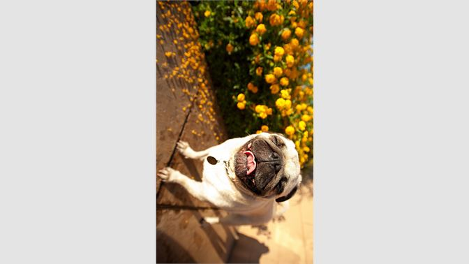 Get Pug Dog Wallpapers - Microsoft Store